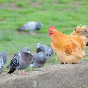 Ground Birds, Pigeons