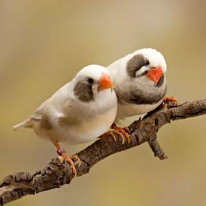 SoftBills, Finches
